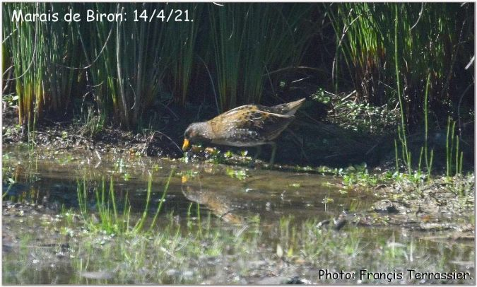 Spotted Crake  - Anonymous