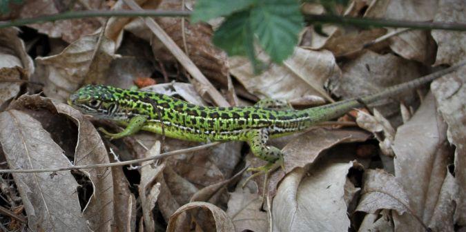 Western Green Lizard  - Eric Salinier