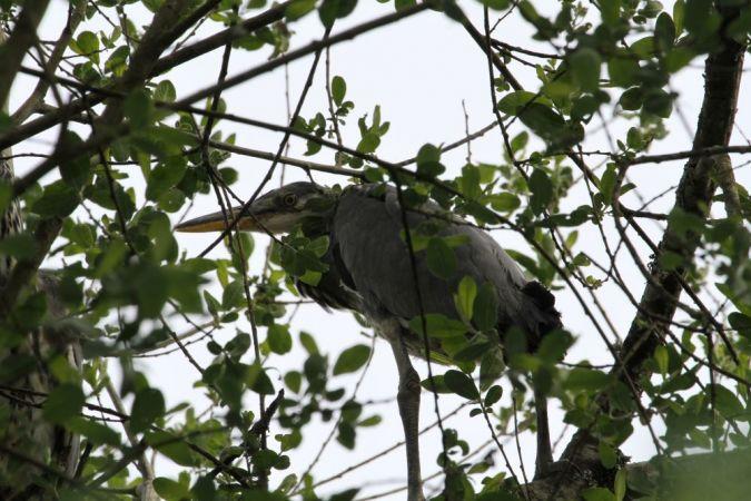 Grey Heron  - Eric Salinier