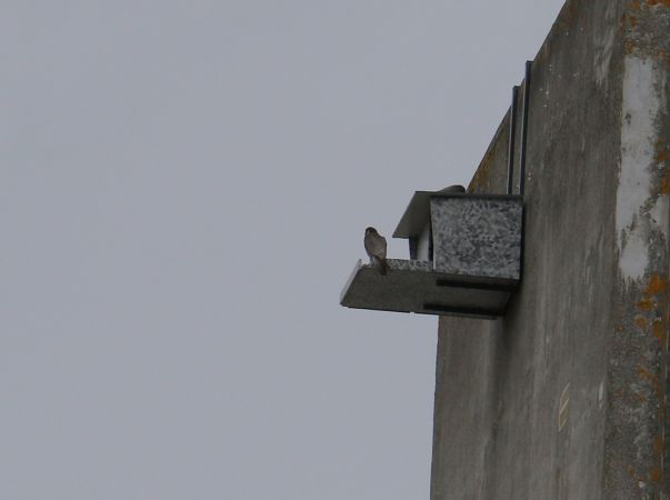 Peregrine Falcon  - Alain Noel