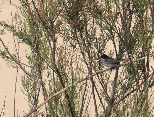 Sardinian Warbler  - Alain Noel