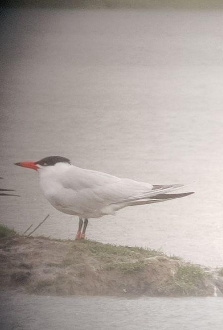 Caspian Tern  - Le Teich Réserve Ornithologique-Pnrlg