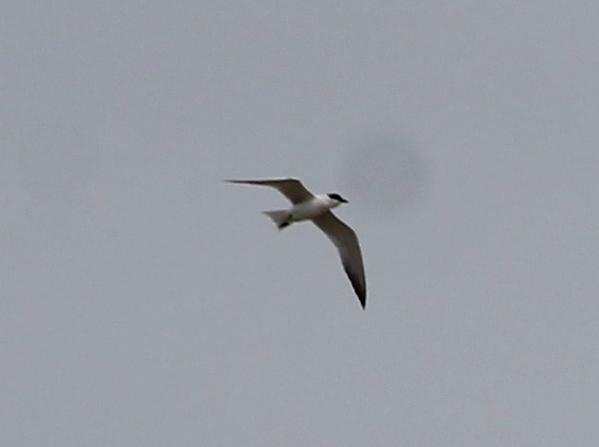 Gull-billed Tern  - Bertrand Lamothe