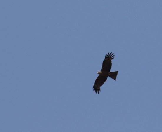 Black Kite  - Alain Noel