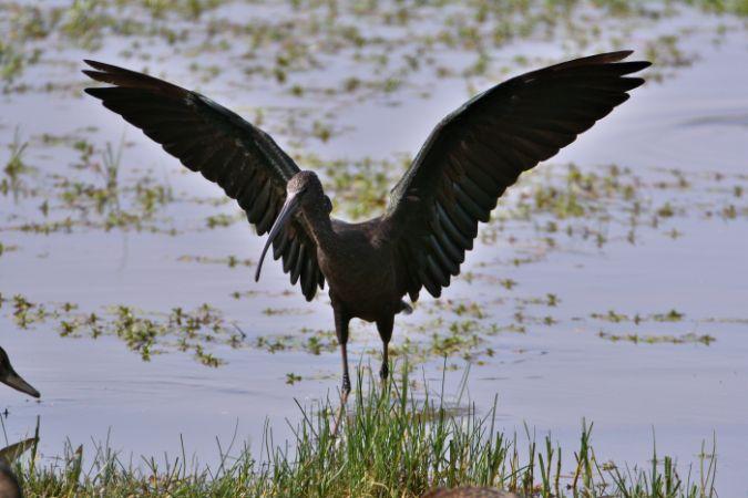Glossy Ibis  - Guy Delcroix