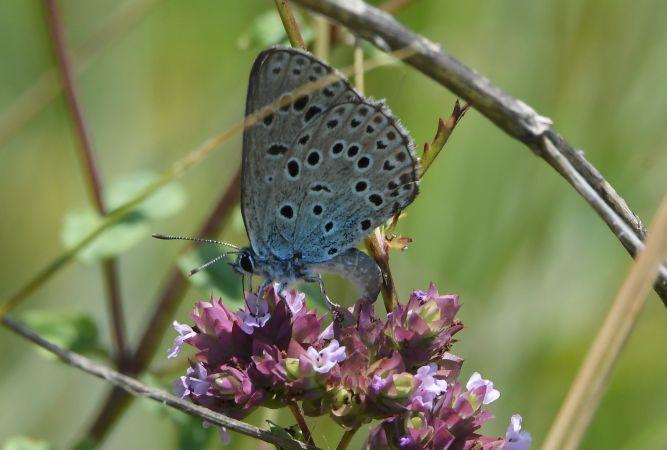 Large Blue  - Geoffroy Chabot