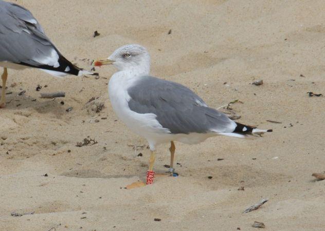 Cantabric Yellow-legged Gull  - Alain Noel