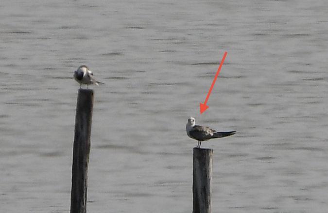 White-winged Tern  - Geoffroy Chabot