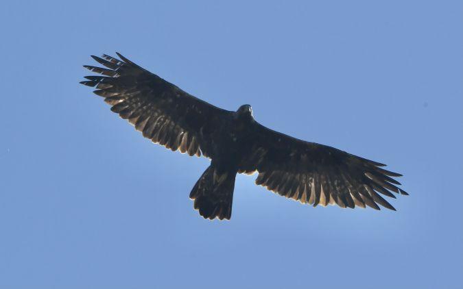 Golden Eagle  - Geoffroy Chabot