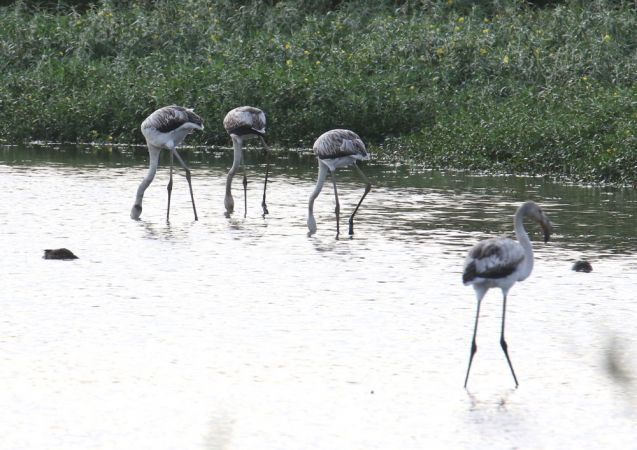 Greater Flamingo  - Alain Noel