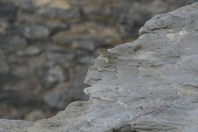 Rock Pipit  - Miguel Eraso