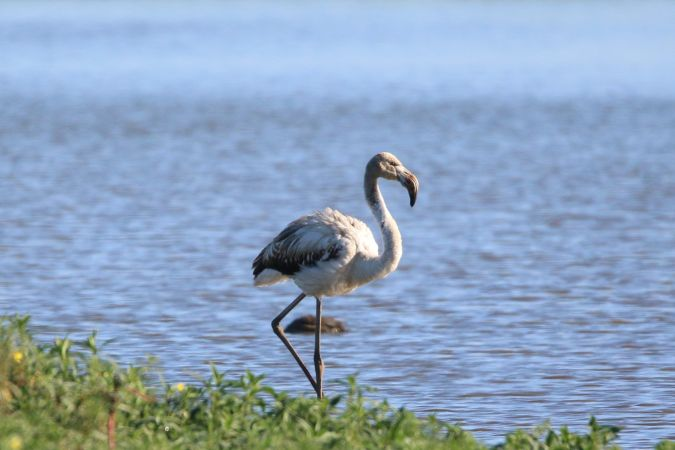 Greater Flamingo  - Marie Hélène Buffo