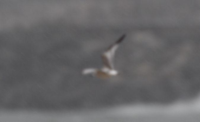 Sabine's Gull  - Geoffroy Chabot