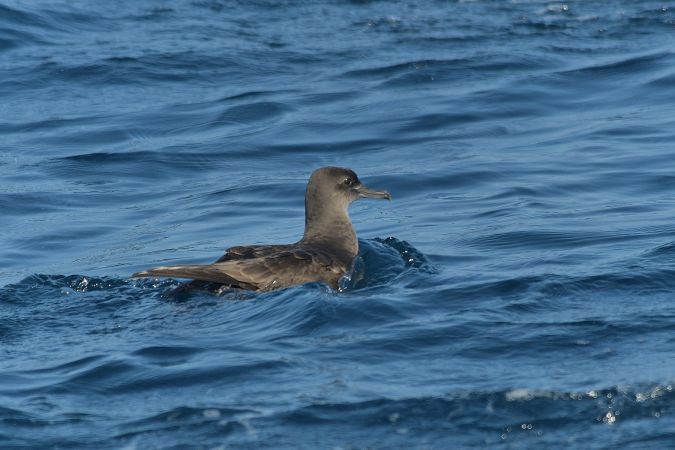Sooty Shearwater  - Cyril Vathelet