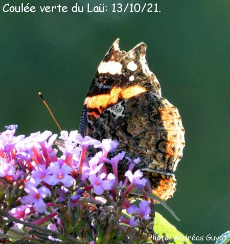 Red Admiral  - Andréas Guyot