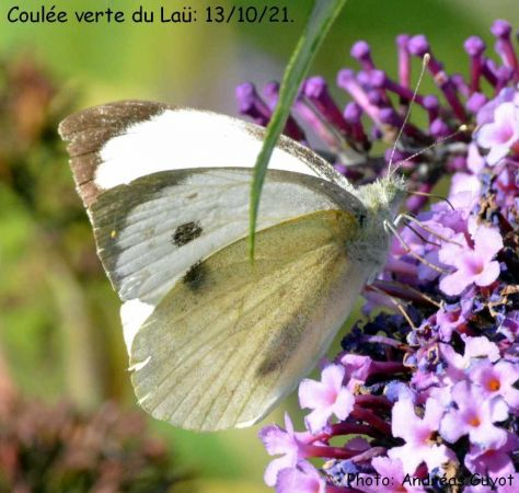 Large White  - Andréas Guyot