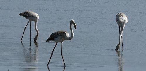Greater Flamingo  - Philippe Richard