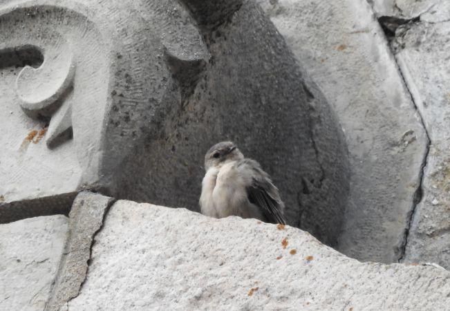 Hirondelle de rochers  - Marie Hélène Chillet