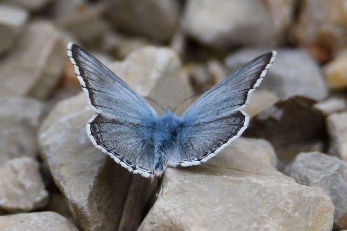 Bleu-nacré espagnol  - Roger Soudagne