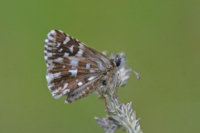 Hesperiidae indéterminé  - Roger Soudagne