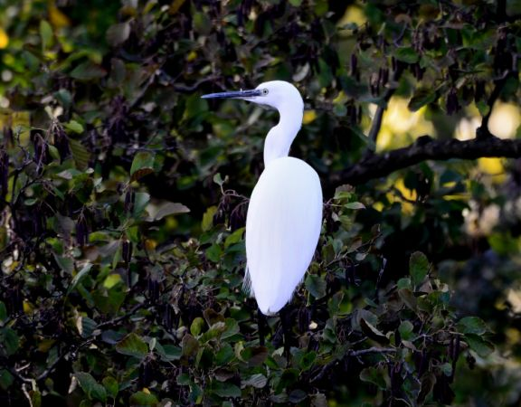 Aigrette garzette  - Michel Pansiot
