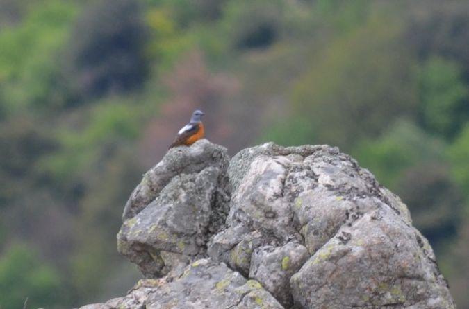 Monticole de roche  - Mayeul de La Tourrette