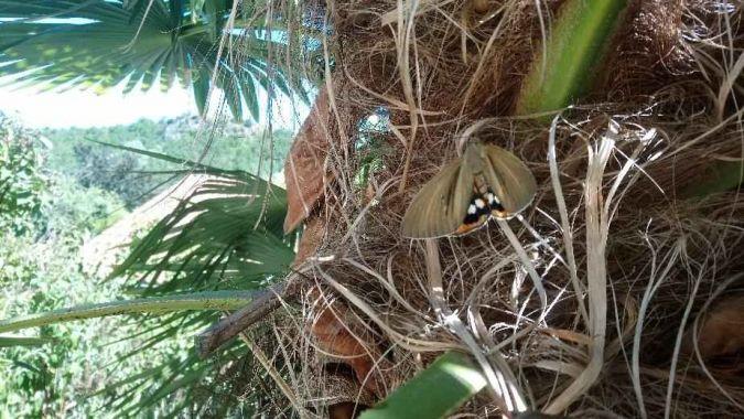 Bombyx du palmier  - Pascal Binon