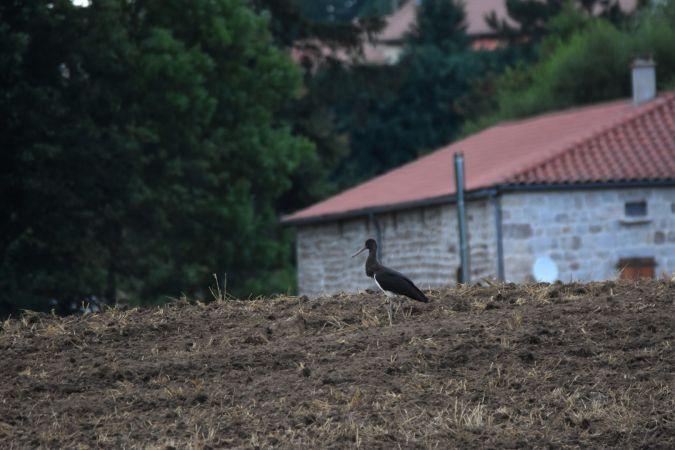 Cigogne noire  - Maxime Zucca