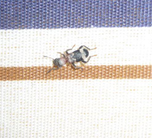 Clairon des fourmis  - Jean-Jacques Lallemant