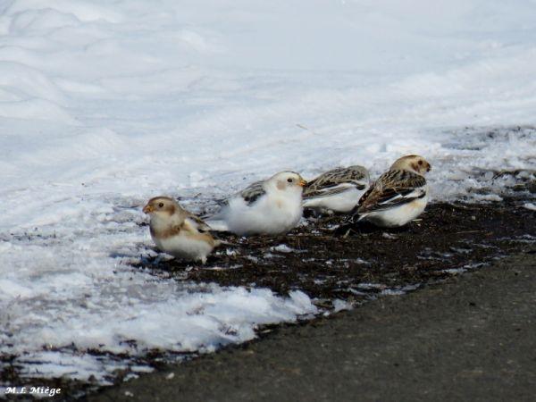 Bruant des neiges  - Marie-Laure Miège