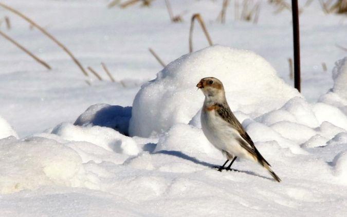 Bruant des neiges  - Bernard Mergnat