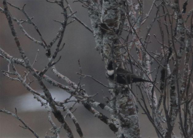 Merle à plastron nordique  - Bernard Mergnat