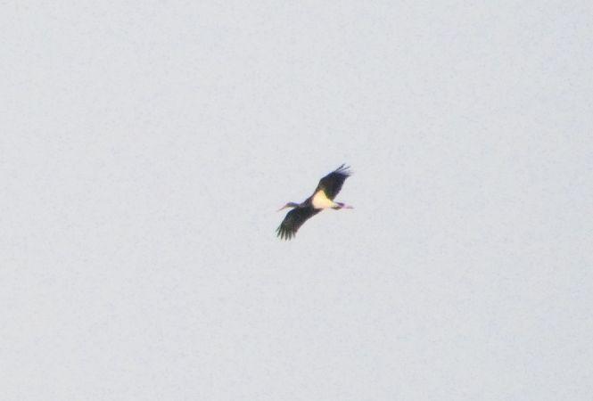 Cigogne noire  - Fanch Martinet