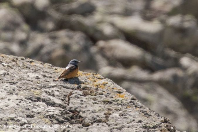 Monticole de roche  - Francine et Christian Collin
