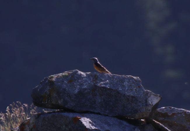 Monticole de roche  - Éloi Hostein