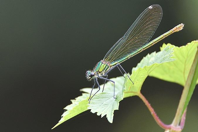 Caloptéryx éclatant  - Pierre-Laurent Lebondidier