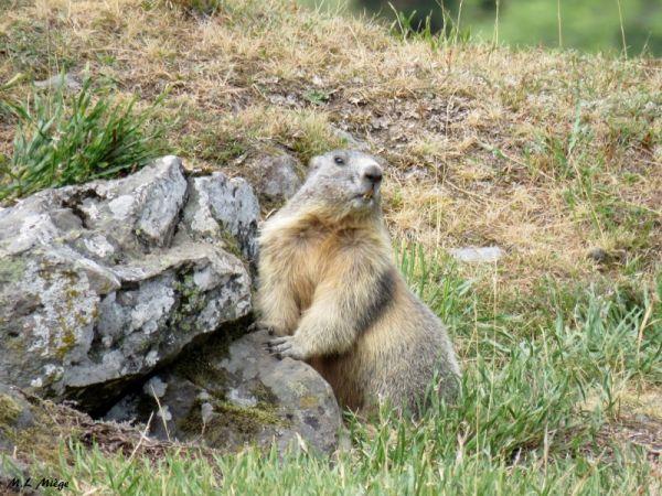 Marmotte des Alpes  - Marie-Laure Miège