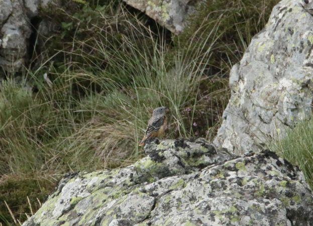Monticole de roche  - Jean-Pierre Boulhol