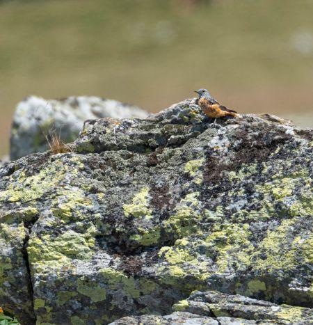 Monticole de roche  - Johnny Fouvet