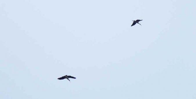 Cigogne noire  - Fix Odile