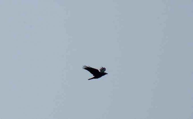 Grand Corbeau  - Fix Odile