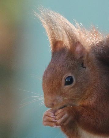 Ecureuil roux  - Nicole Deschaume