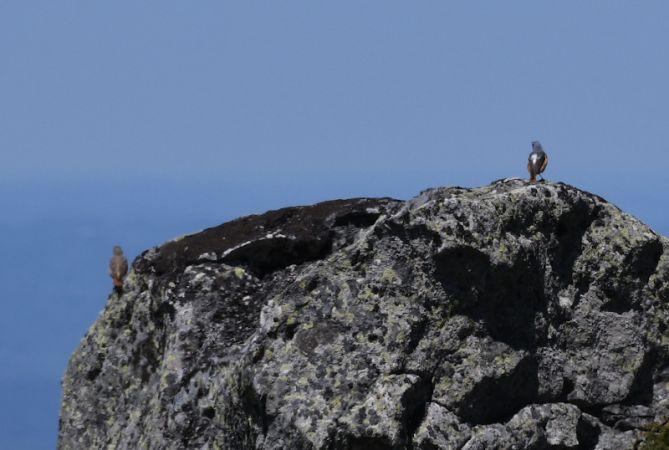 Monticole de roche  - Guillaume Calu