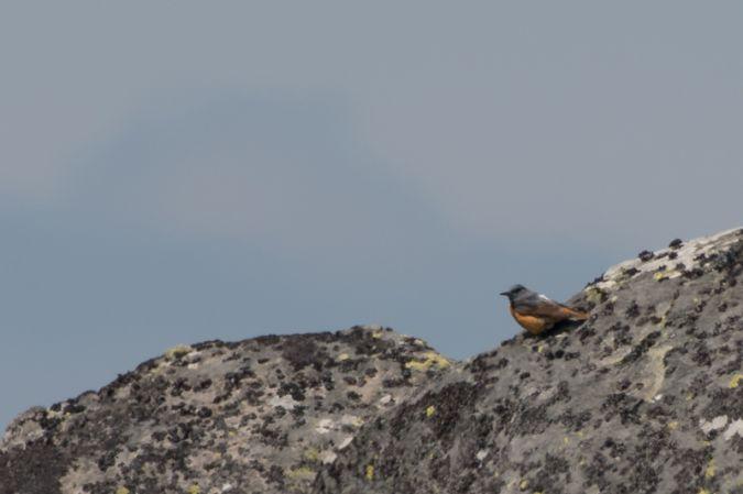 Monticole de roche  - Christian Taillandier