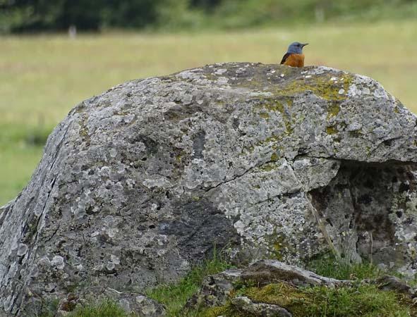 Monticole de roche  - David Houston