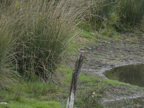 Bergeronnette des ruisseaux  - Fañch Martinet