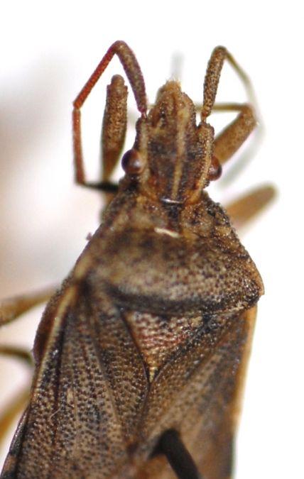 Ceraleptus obtusus  - Pascale Walravens