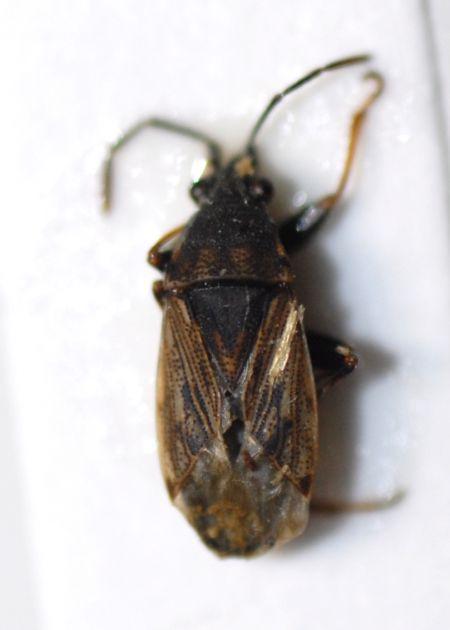 Peritrechus gracilicornis  - Pascale Walravens
