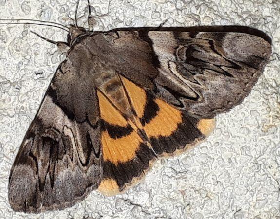 Lichénée jaune  - Pascale Walravens