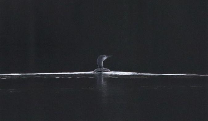 Plongeon catmarin  - Bernard Mergnat